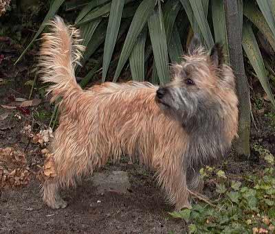Cairn Terrier, also called Skye Terrier and Short-haired Skye Terrier