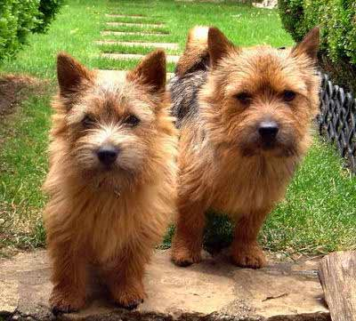 Norwich Terrier picture, also called Jones Terrier and Cantab Terrier
