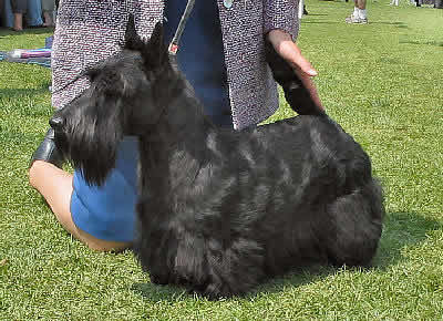 Scottish Terrier Picture, also called Aberdeen Terrier and Scottie