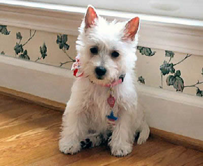Cutewhitepuppies Wallpaper on West Highland White Terrier Cute Dog