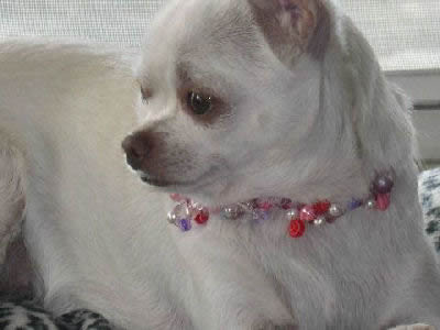 Applehead Chihuahua Picture, also called Applehead Teacup Chihuahua