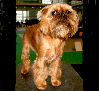Brussels Griffon, also called Griffon, Belgian Griffon, Griffon Bruxellois and Griff