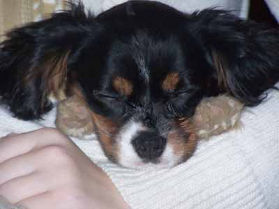 Cavalier King Charles Spaniel picture, also called Cavalier, King Cavalier and Ruby Spaniel