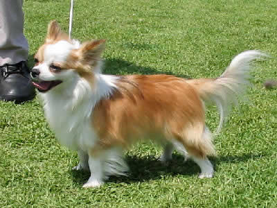 Chihuahua, Long-haired Chihuahua Picture
