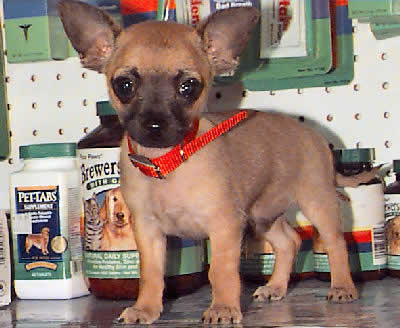 Short-haired Chihuahua Picture, also called Smooth-coat Chihuahua