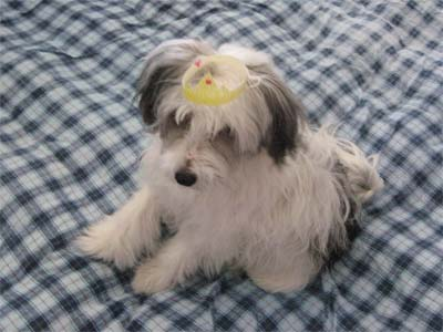 Chinese Crested Powderpuff picture, also called Crested, Powderpuff and Puff