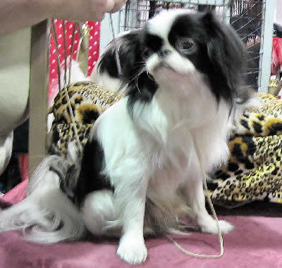 Japanese Chin Picture, also called Chin and Japanese Spaniel