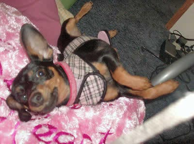 Miniature Pinscher picture, also called Min Pin, Mini Pinscher and Zwergpinscher