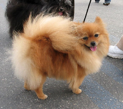 Picture of a Pomeranian - Small Dog Breed that is a Toy Dog
