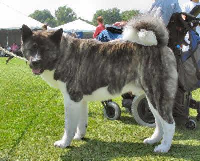 Akita picture, also called Japanese Akita, American Akita, Akita Inu and Great Japanese Dog