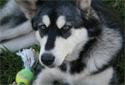 Animal-World info on Alaskan Malamute