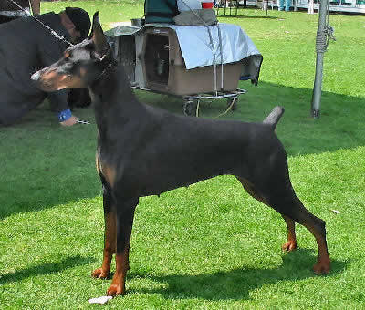 Doberman Pinscher Picture, also called Dobermann, Doberman and Dobie