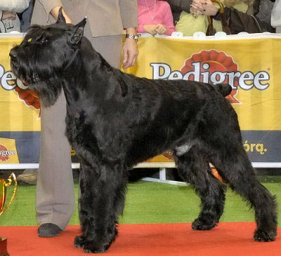 Giant Schnauzer picture, also called Riesenschnauzer, Munich Schnauzer and Russian Bear Schnauzer