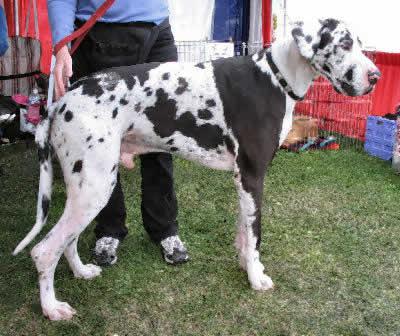 Great Dane Picture, also called German Mastiff, Danish Hound, and Gentle Giant