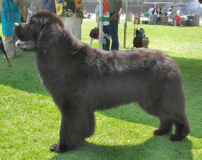 Newfoundland Dog, also called Newf or Newfie