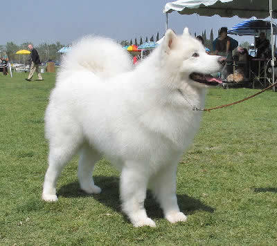 Samoyed Picture, also called Bjelkier, Samoyedskaya and Sammy
