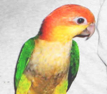 Picture of a White-bellied Caique