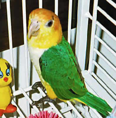 "Picture of ""Baby James"", a Yellow-thighed Caique"