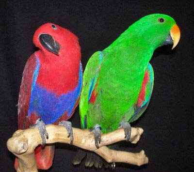 Female and Male Eclectus Parrots, Eclectus roratus, a breeding pair
