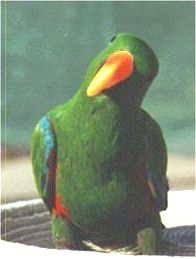 "Picture of ""Alex"", a male Eclectus Parrot"