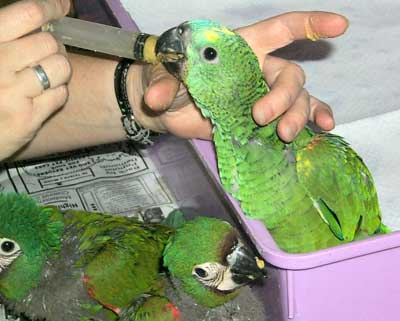 Hand feeding Amazon Parrots - Bird Care and Bird Information for all types of Amazon Birds