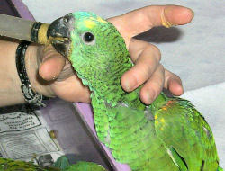 Hand feeding a baby Blue-fronted Amazon