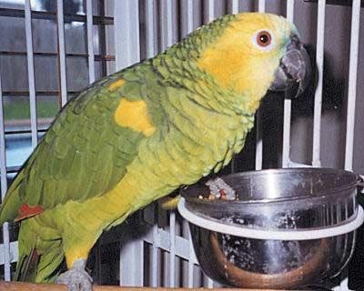 Blue Fronted Amazon Amazona Aestiva Blue Front Amazon Parrots