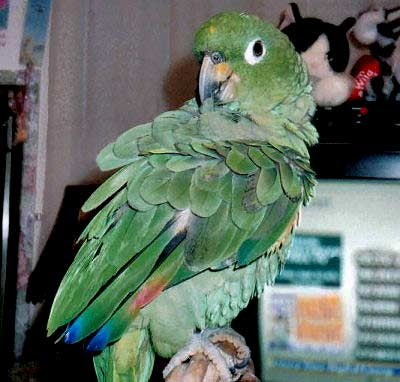 Mealy Amazon Parrot Amazona farinosa, Blue-crowned Mealy Amazon, Guatemalan Amazon