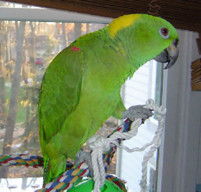 "Picture of ""Mia"", a Yellow-naped Amazon, or a Golden Yellow-naped Amazon"