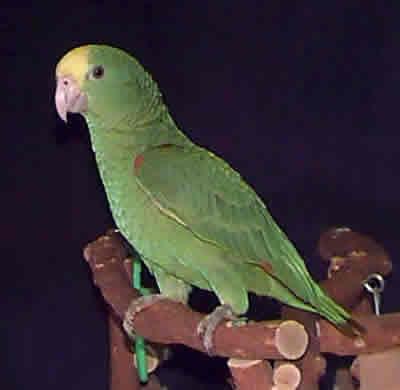 Amazon Parrots Amazon Parrot Guides All Types Of Amazon Birds