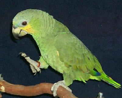 Orange-winged Amazon or Orange-winged Parrot, Amazona amazonica juvenile, also called Loro Guaro