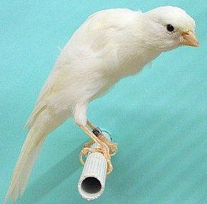 Picture of a Belgian Fancy Canary