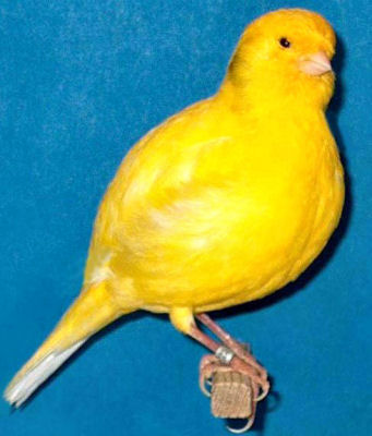 Picture of a Border Fancy Canary