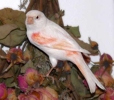 Color Bred Canary - Canary Bird Care and Bird Information for all types of Canaries