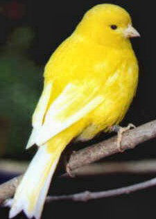 Green Fife Canary