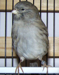 Picture of a Gloster Consort (plainheaded) Canary