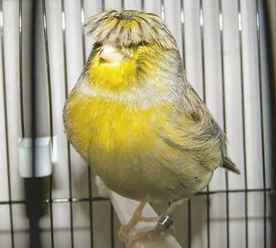 Picture of a Gloster Corona (crested) Canary