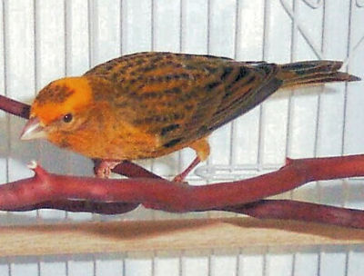 Picture of a Lizard Canary