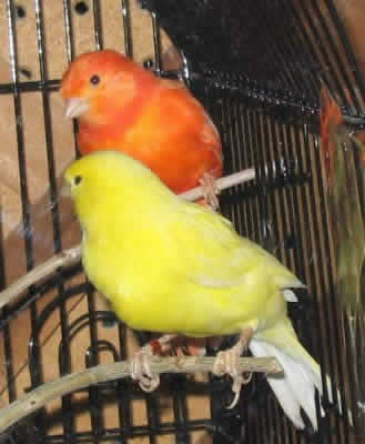 Picture of Color Bred Canaries, a Red Factor Canary and a Yellow Canary