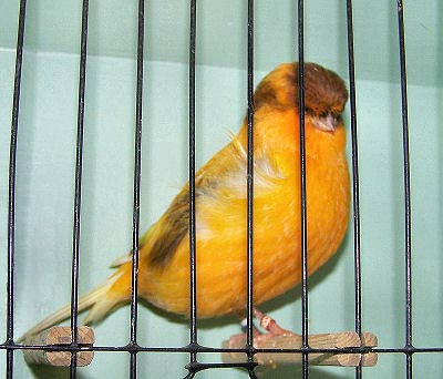 Picture of a Crested Stafford Canary