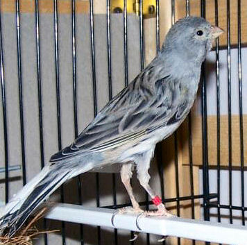 Picture of a Spanish Timbrado (Blue) Canary
