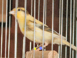 Picture of a Waterslager Canary
