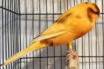 Picture of a Yorkshire Canary