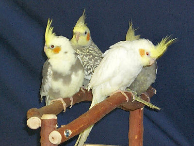 Cockatiels - Bird Care and Bird Information on the Cockatiel