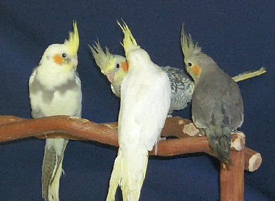 Picture of Cockatiel Mutations or Varieties