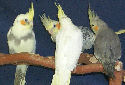 Click to learn about Cockatiels