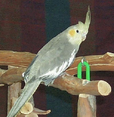Grey Cockatiel female