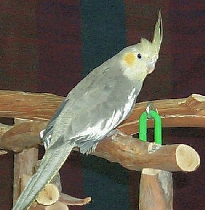 Grey Cockatiel female