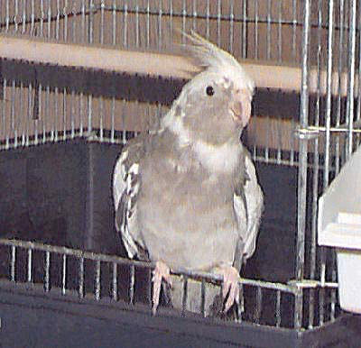 White-faced Cockatiel, Nymphicus hollandicus - Cockatiel ...