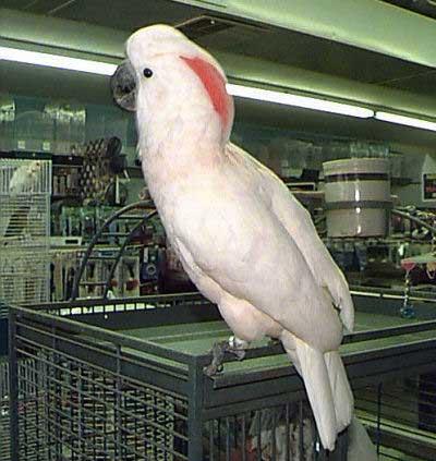 Moluccan Cockatoo, Cacatua moluccensis